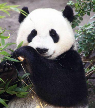 John the Horny Panda